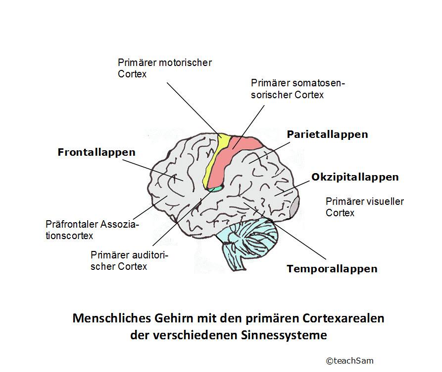 nicht myelinisierte nervenfasern mensch